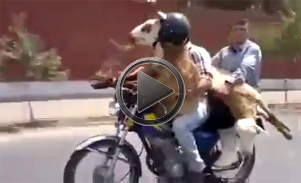 BMW Mini Cooper >> How To Carry Sheep on a Bike