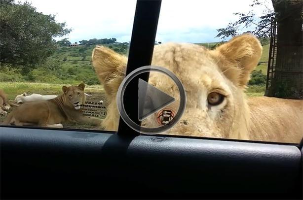 Lion Opens Safari Car Door For A Quick Snack