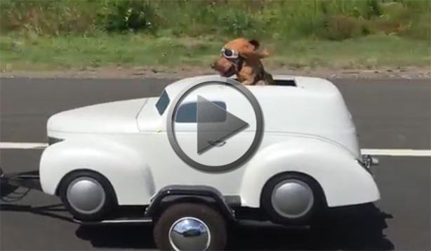 Petrolhead Dog Enjoys Classic Car Trailer Ride